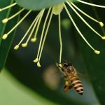 favour honey lebah apis mellifera